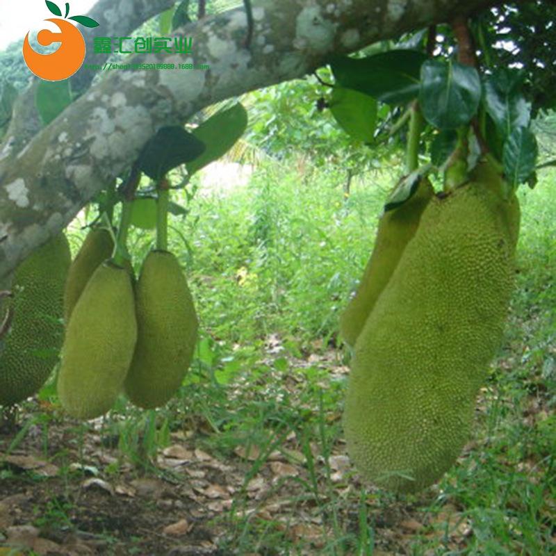 海南三亚新鲜水果菠萝蜜约19斤左右包邮