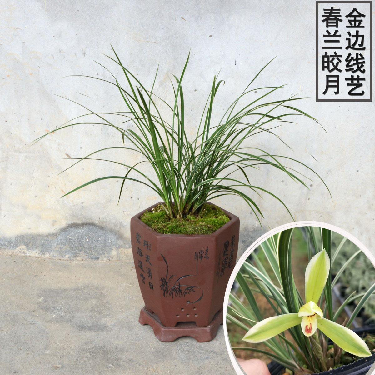 春兰皎月 金边线艺 兰花苗 细叶金边带花苞室内绿植盆栽花卉包邮图片