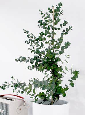 圆叶植物盆栽图片