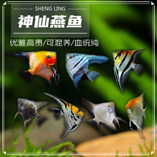 神仙燕鱼集合秘鲁伊莎贝尔蓝lu10鬼红魔lf体观赏鱼包活淡水