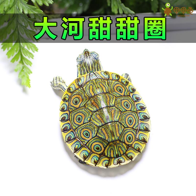 大河甜甜圈龟苗 佛州尼加拉瓜彩龟乌龟宠物水龟小乌龟活体甲甲龟