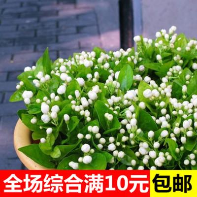茉莉花种子白茉莉双色茉莉虎头茉莉阳台庭院种植四季【茉莉种子】