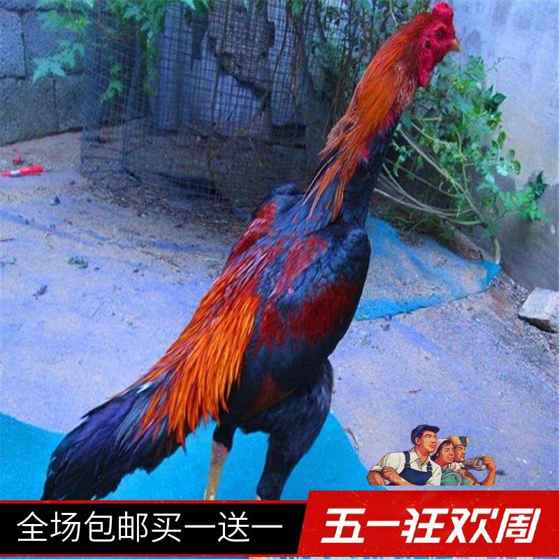 斗鸡活体 泰国斗鸡其它宠物 越南斗鸡 成年鸡 鬼子鸡