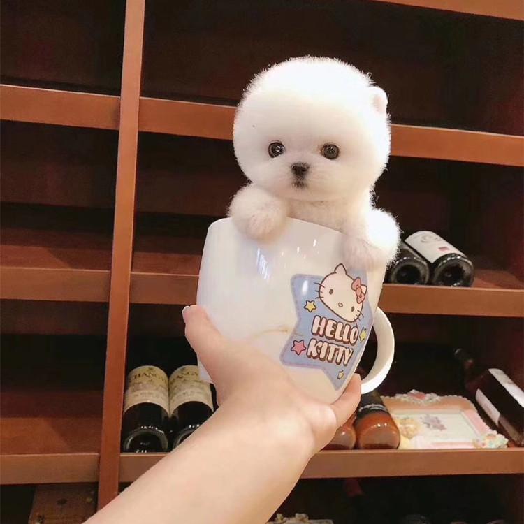 出售纯种长不大的茶杯犬博美幼犬博美犬俊介玩具体博美活体宠物狗