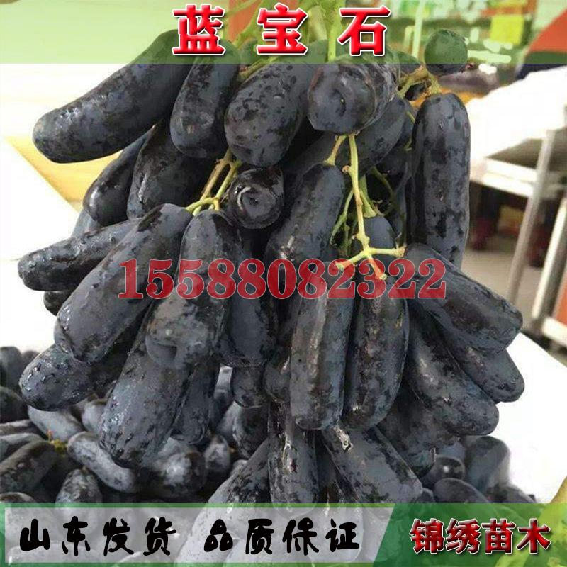 美国金手指无籽黑提葡萄树苗当年结果棉花糖蓝宝石南北方种植盆栽