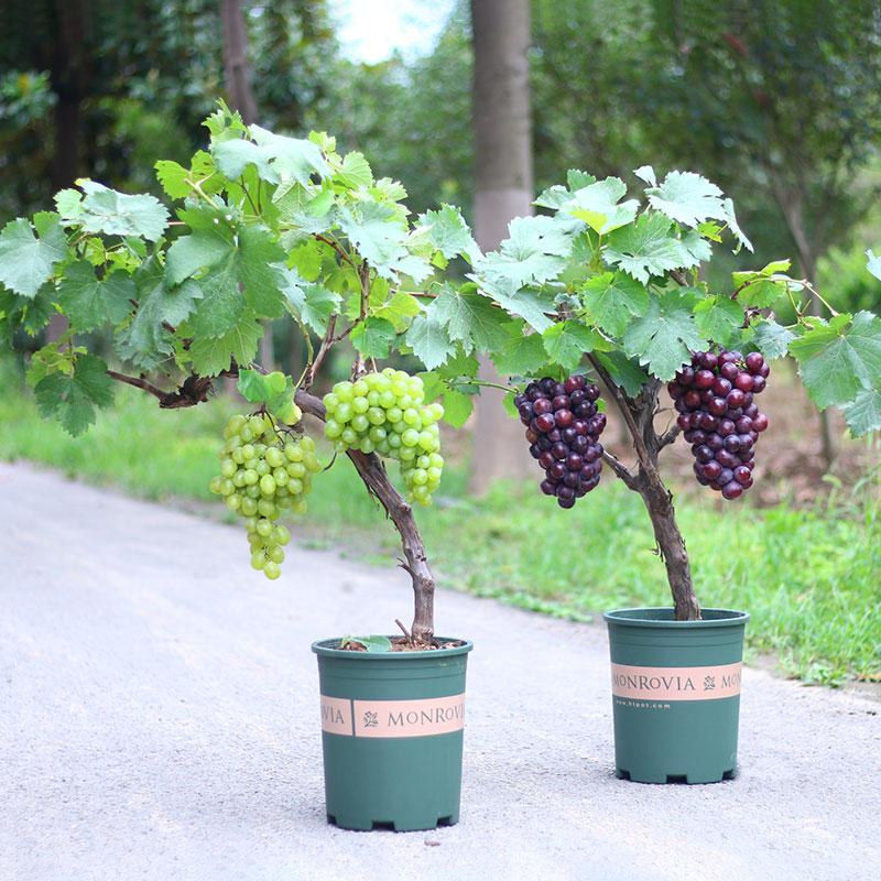 四季葡萄苗南方种植爬藤室内地盆栽当年结果蓝宝石葡萄树北方品种