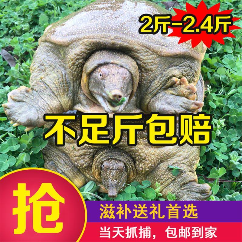 .甲鱼活鲜活食用2斤水鱼王八鲜活淡水生态养殖青黑土中华老鳖活体