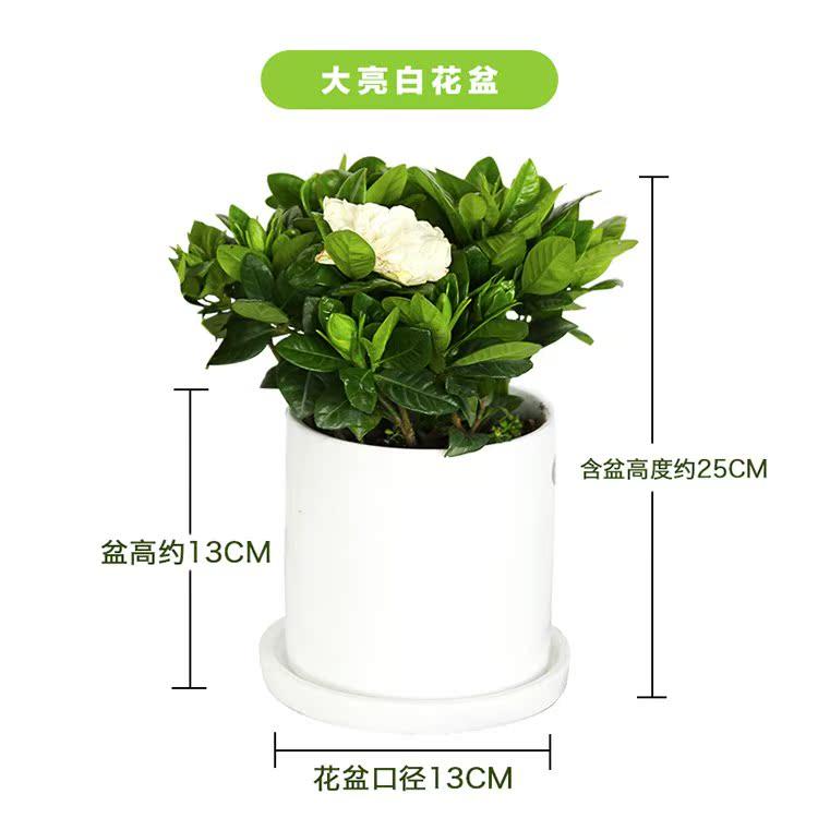 栀子花盆栽带花苞四季开花观花植物净化空气室内好养水培水养花卉