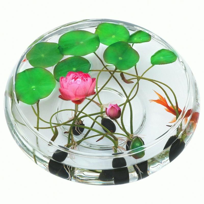 碗莲花种四季室内开花不断水养睡莲荷花种子莲花种籽盆栽水培植物