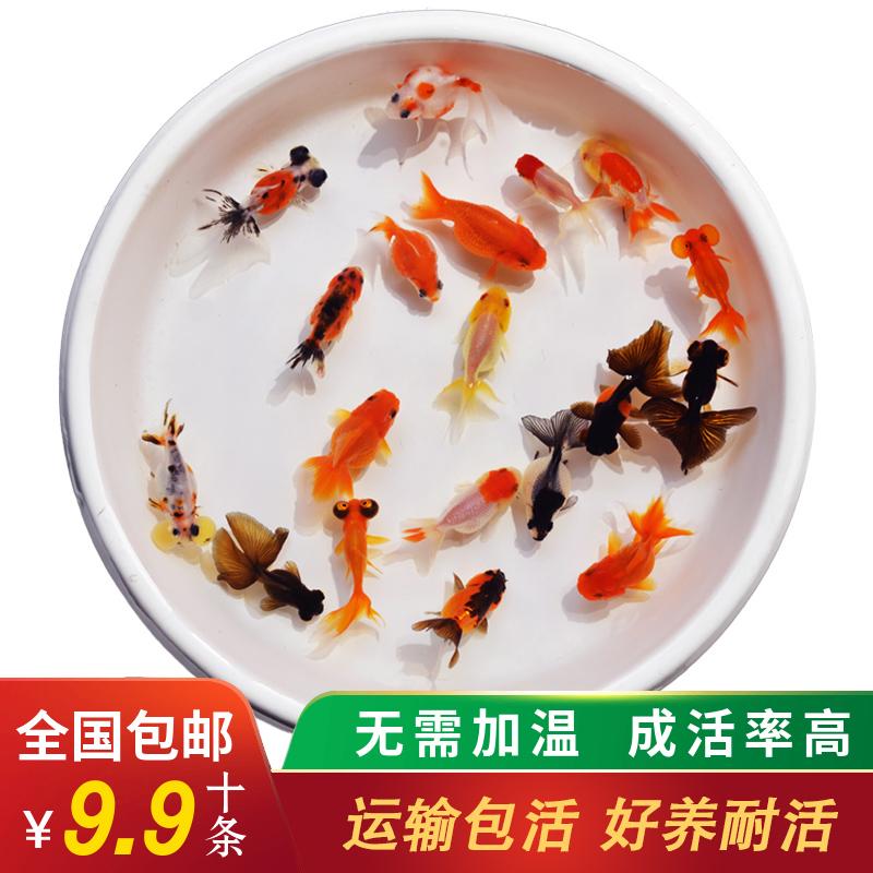 金鱼活体锦鲤观赏鱼冷水鱼不换水的小金鱼淡水鱼好养兰寿小型鱼苗