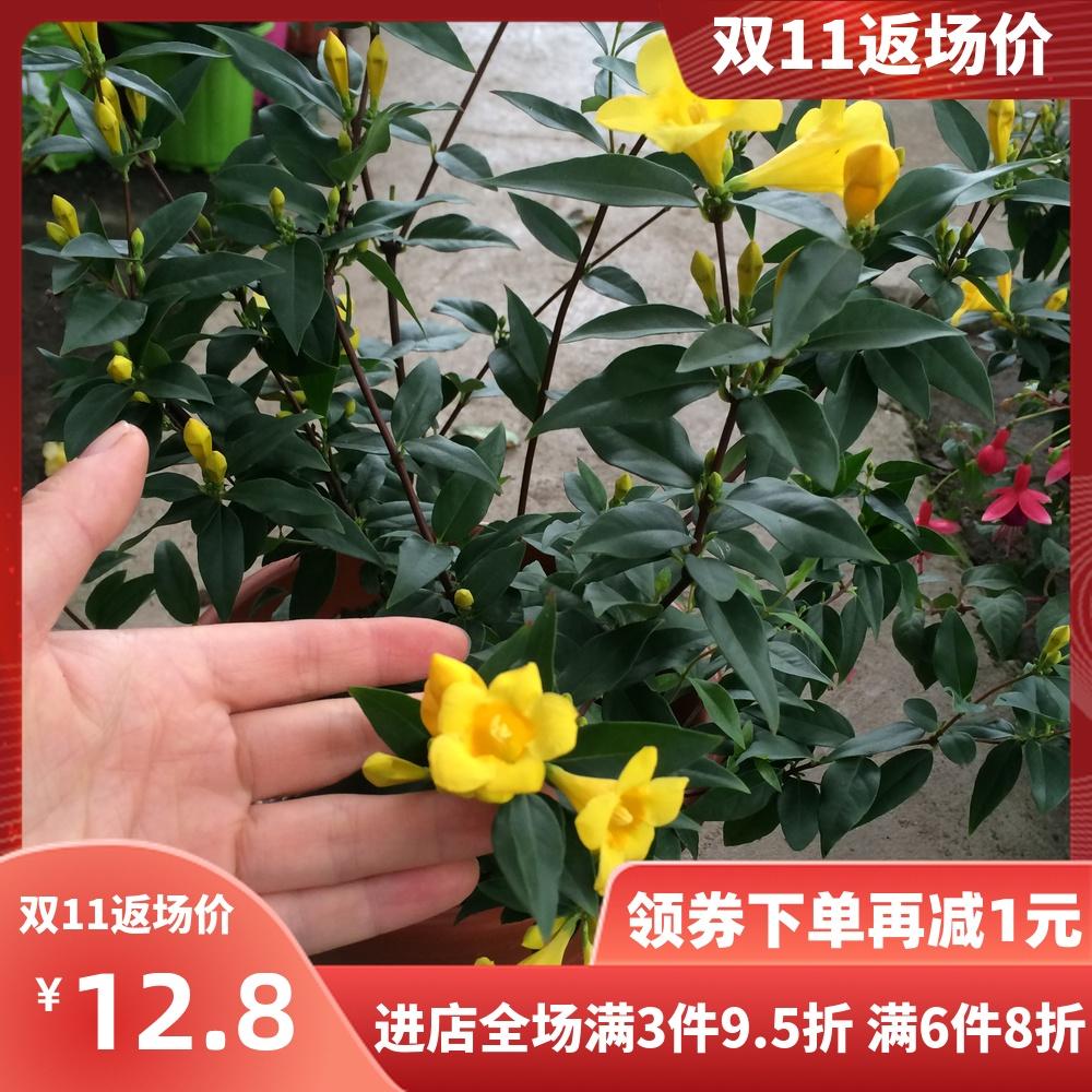 香水茉莉法国香水室内盆栽绿植阳台庭院 冬季耐寒爬藤芳香植物