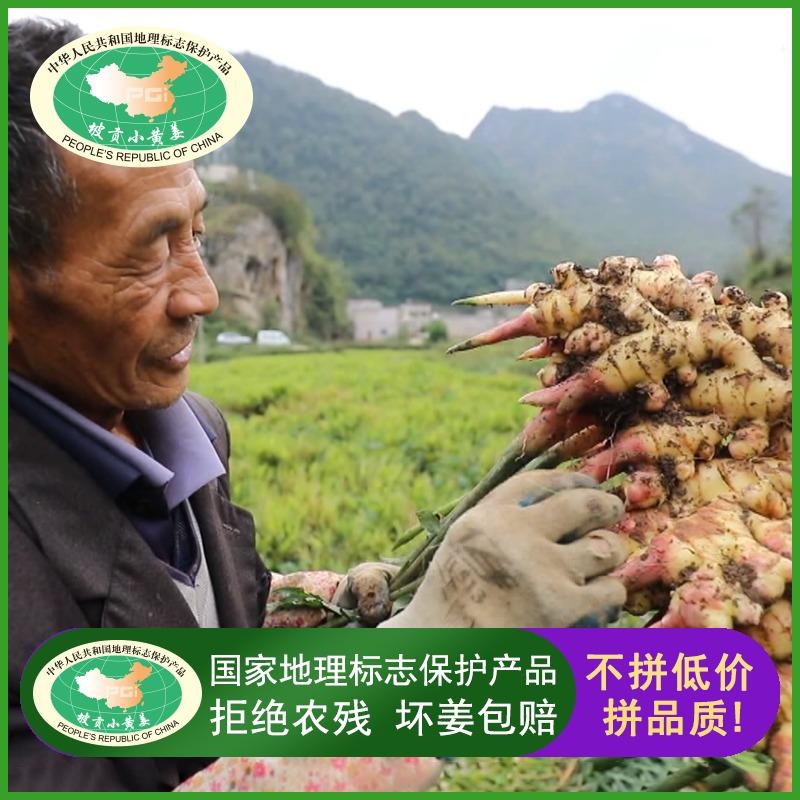贵州关岭坡贡小黄姜生姜新鲜时令蔬菜高山姜母月子姜土姜5斤包邮