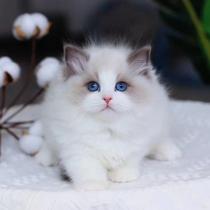 免费无偿领养布偶猫幼猫小奶猫活体宠物猫咪活物小猫幼崽同城领养