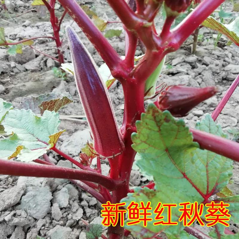 山东农家自种新鲜红秋葵 鲜秋葵蔬菜 嫩红秋葵有机蔬菜3斤装精选