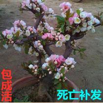 海棠花盆栽盆景樹苗花卉苗木四季重瓣盆栽老樁盆景陽台綠植物