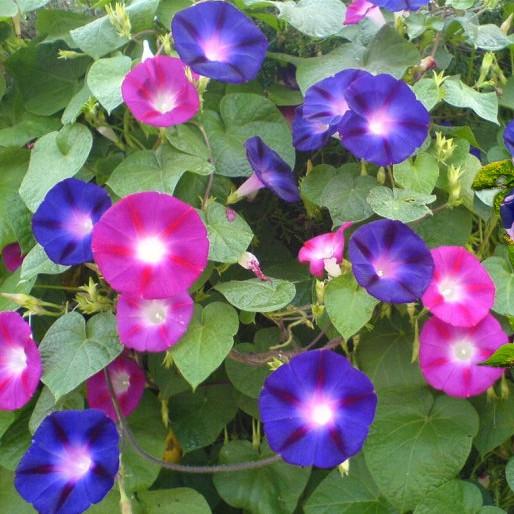 牵牛花种子囹�a_大花牵牛花种子爬藤 混色 春季种花草 家庭园艺喇叭花卉种子