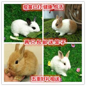 兔子活物小白野黑垂耳侏儒小型宠物大型肉兔活体宝宝熊猫公主兔子