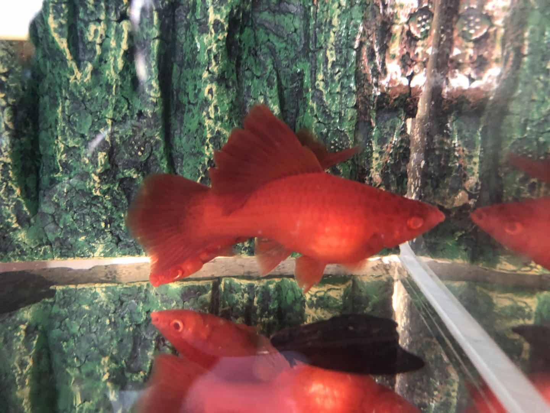 高鳍菊花帆红剑鱼红箭鱼苗胎生鱼孕母下崽狂魔鱼小型热带观赏鱼