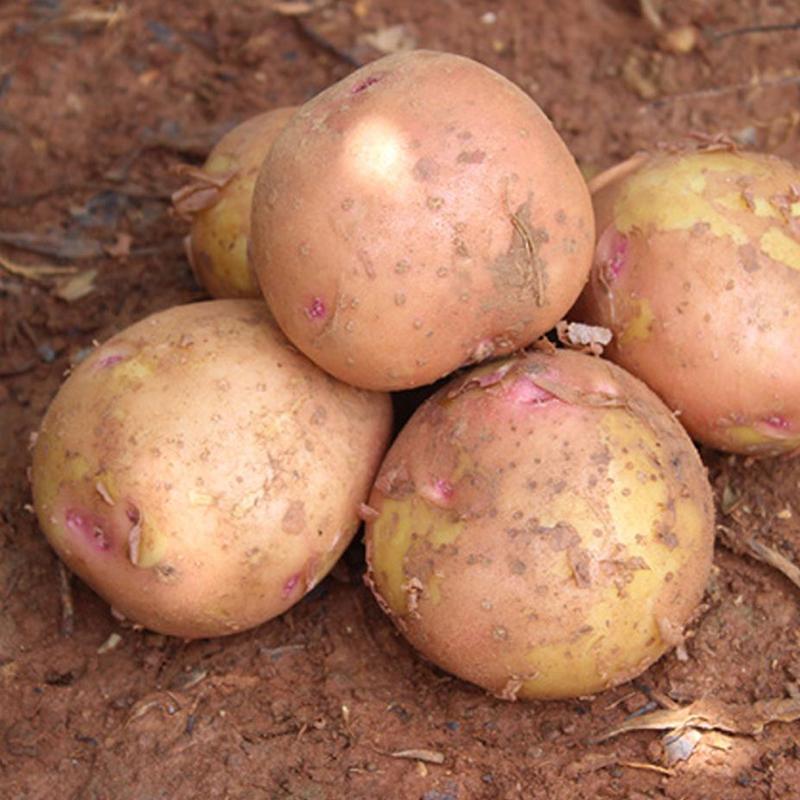 新鲜红皮小土豆10斤云南蔬菜黄心土豆农家自种马铃薯洋芋包邮