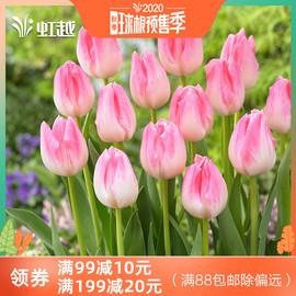 郁金香种球根花卉虹越荷兰进口可盆栽地栽植物新手5度球3球装预售