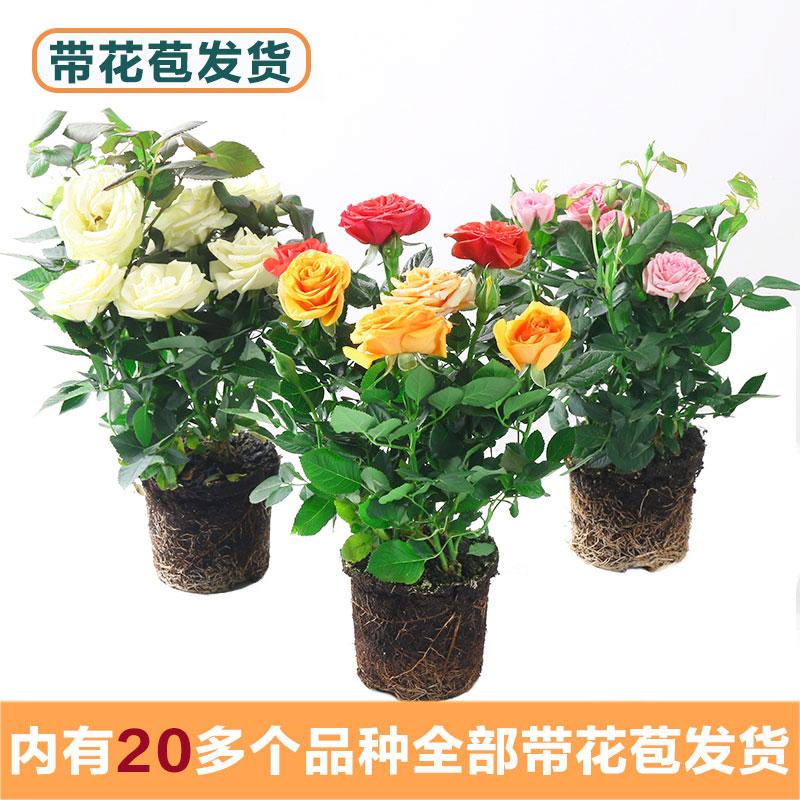 玫瑰花苗带花苞花卉观花绿植物室内阳台盆栽大花浓香月季四季开花