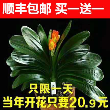 君子兰盆栽花卉植物室内花精品君子兰花苗带花苞高档绿植名贵盆景
