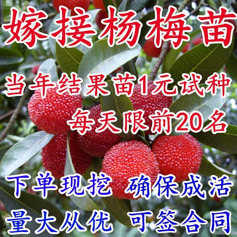 杨梅苗盆栽杨梅树苗耐寒南方北方种植果树苗包成活当年结果杨梅苗