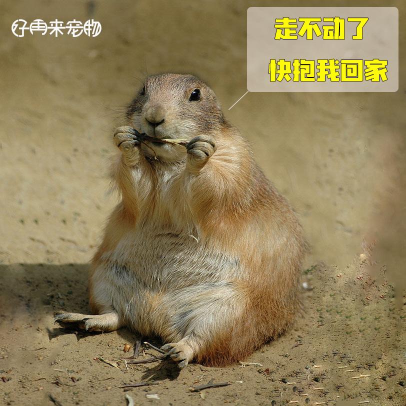 黑尾土拨鼠宠物幼崽活物纯种异宠网红进口北美黑尾土拨鼠小崽活体