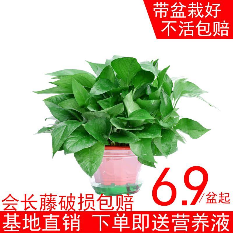 办公室 桌面 防辐射 盆栽 植物 除甲醛 净化 空气 吊篮