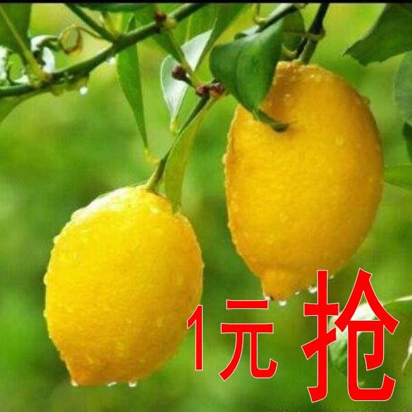 柠檬树苗 香水柠檬盆栽结果柠檬苗盆栽带果四季手指果树苗 柠檬树