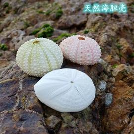 天然大海螺贝壳海胆壳鱼缸造景装饰珊瑚礁布置地中海风格海洋标本