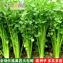 四季播(小)香芹种子四季种 庭院阳台lo13蔬菜种is浓 细芹菜种子