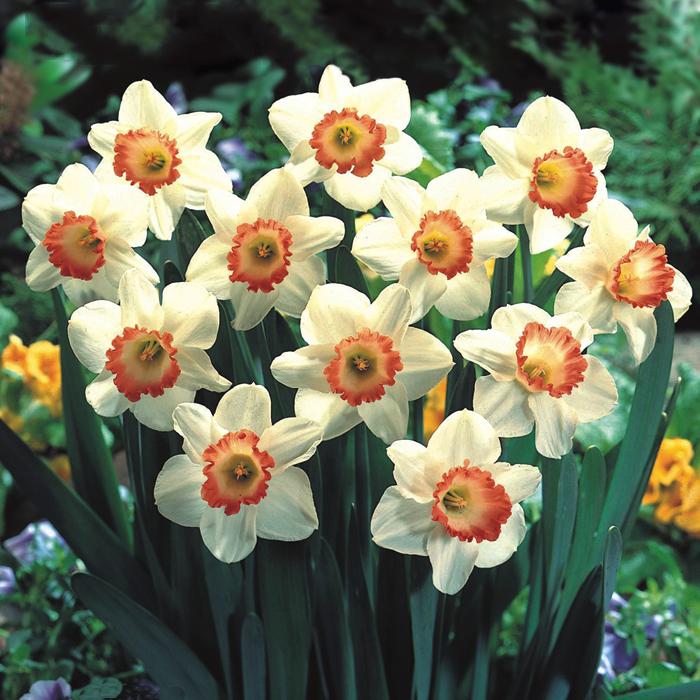 进口洋水仙花种球盆栽植物耐寒花卉种子水培 秋冬室内盆栽观花