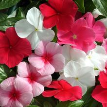 49包zg垂吊长春花rw季种开花春季种阳台庭院室内室外花籽孑