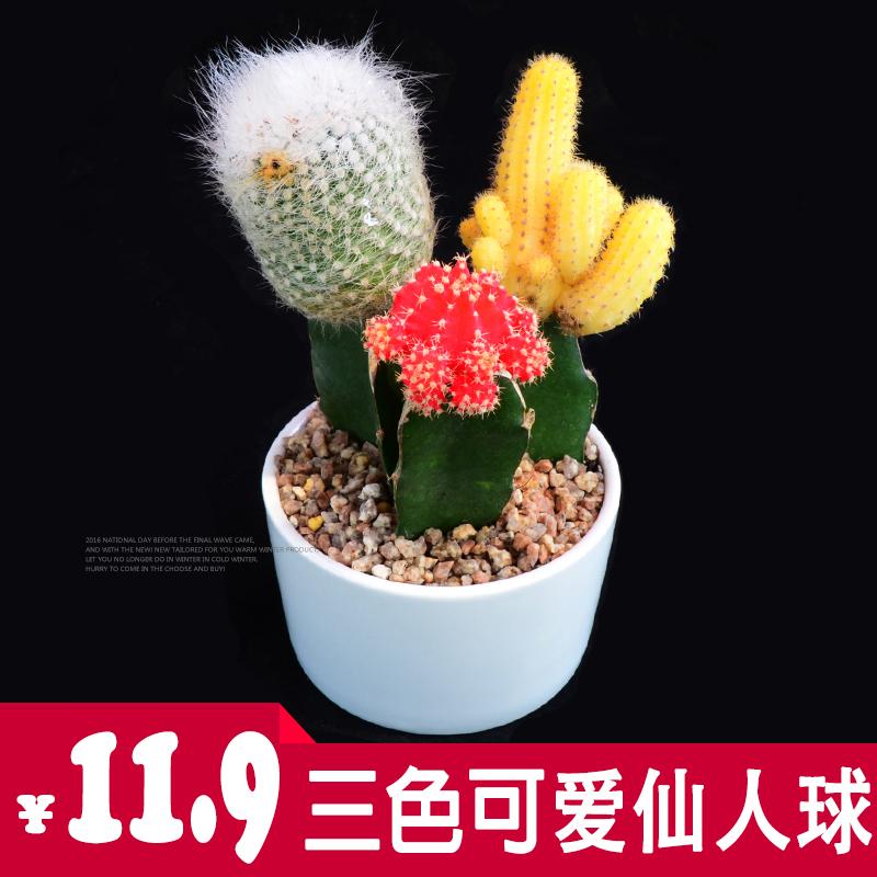 彩色仙人球三色球多肉植物防辐射盆栽办公室桌面吸甲醛仙人掌包邮