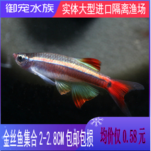 白云金yo0瑰丽金丝2b丝溪流鱼灯科鱼(小)型鱼 一组包邮