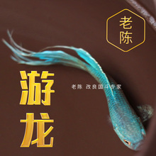 【游龙y1中国中华斗16活体 易养耐养淡水冷水观赏鱼 懒的鱼