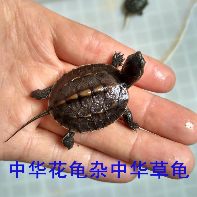 中华草龟杂中华花龟花杂草苗活体乌龟宠物招财龟乌龟头苗珍珠龟杂