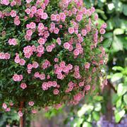缘月月季园 小木槿棒棒糖原生态盆栽花卉庭院阳台黑方原盆原土发