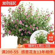 小木槿种子苗盆栽棒棒糖花苗优雅女士大苗多年生春季阳台庭院