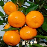 湖南石门无核蜜橘薄皮柑橘自家果园现摘现发坏果包赔孕妇新鲜柑桔