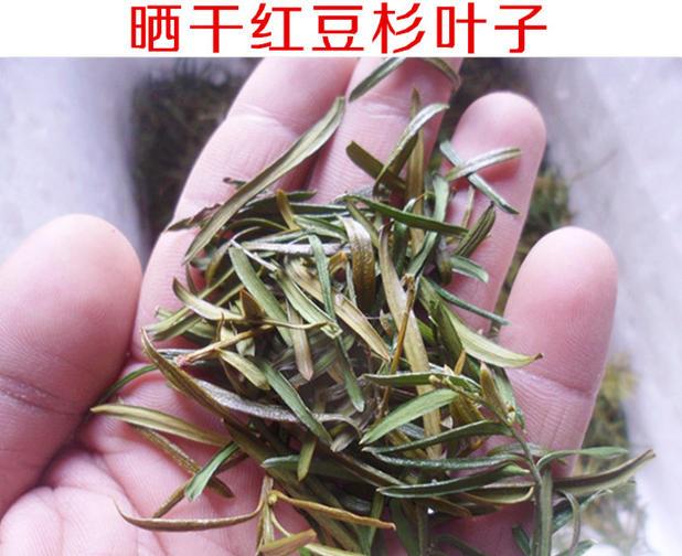 野生红豆杉叶子 晒干叶子 50g中药材 花草茶养生茶 半斤包邮 泡茶