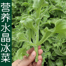 营养冰菜种子春夏秋ga6季播阳台ge籽易种新鲜水果冰草青菜孑