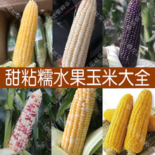 超甜水果玉米种子at5四季播蔬c1牛奶白粘黑糯五彩草莓籽高产孑