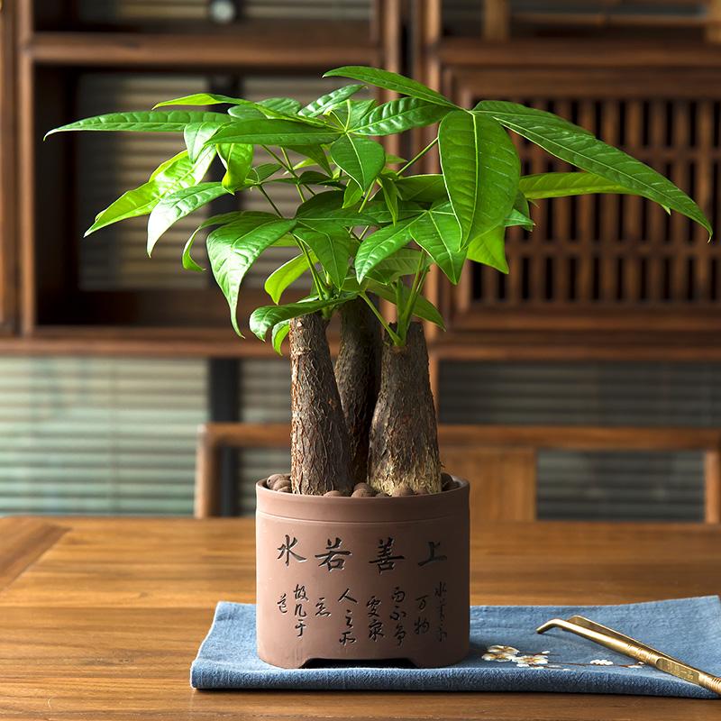 发财树盆栽植物室内小盆景客厅绿植花卉办公室盆栽绿色植物招财