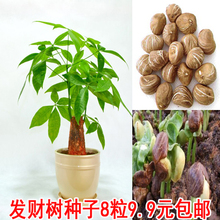 促销新采室内绿植盆栽花卉发财树xi12子新鲜an播包邮