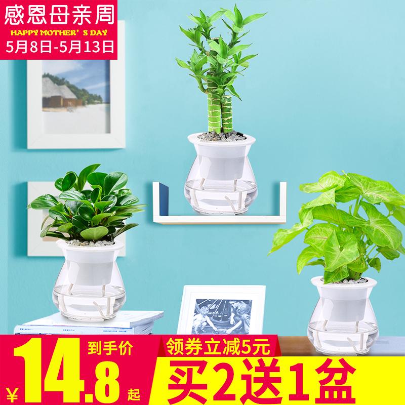 富贵竹盆栽花卉转运竹水养室内花绿植铁线蕨类水培竹子植物豆瓣绿