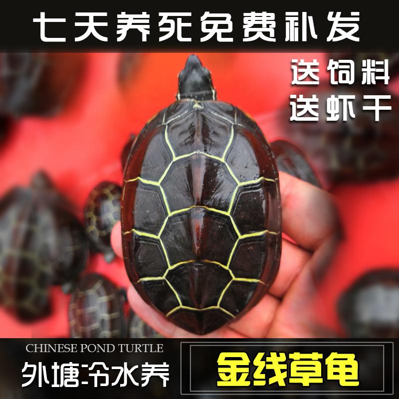 乌龟活体长寿龟金线龟墨龟观赏龟宠物龟外塘龟招财龟中华草龟包邮