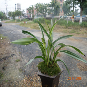 Boutique Orchid Mochi Orchid Wang Jin Orchid Seedling Living Room Gardening Flower Plant Green Plant Potted Windowsill Seasonal Flowers