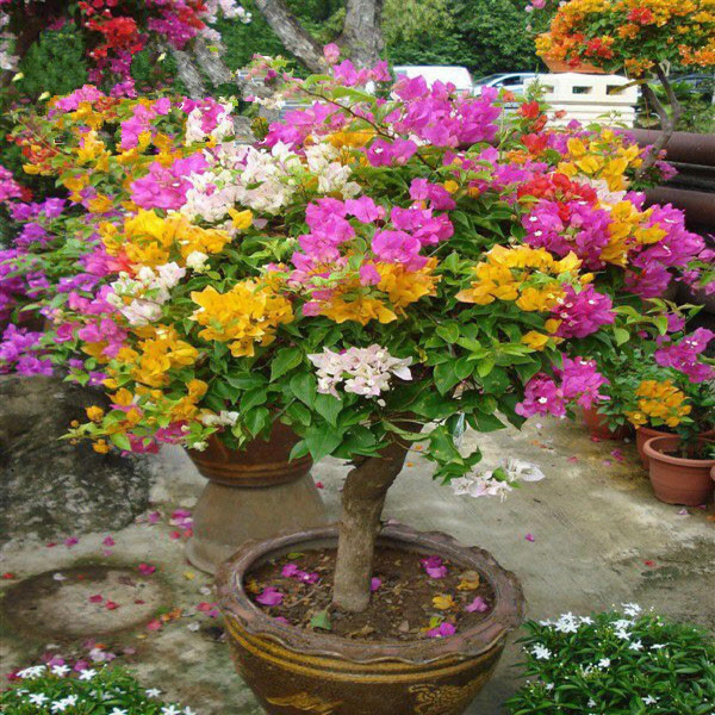 五色梅三角梅花海五彩四季梅花变色苗盆栽苗庭院耐晒花开不断